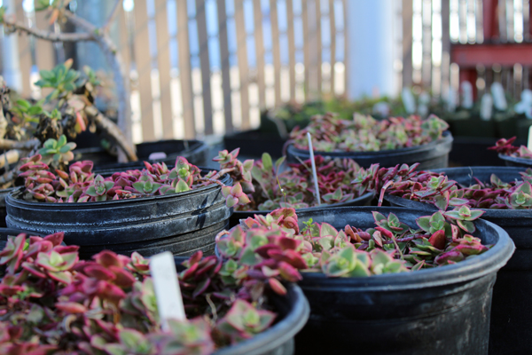 Succulents placed during the plant sale. Photo by Catlan Nguyen